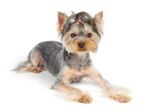 Dog with short hair Stock Image