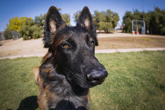 Dog shot with a fisheye lens. Extreme close up of a Belgian Malinois shot with a fisheye lens Royalty Free Stock Image