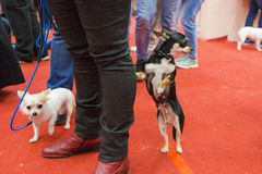 Dog Show Royalty Free Stock Photography