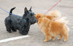 Dog show. Scottish terrier puppy and two spitzs on dog show stock photography