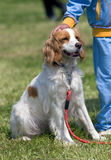 At the dog show. A dog avaits to be called to pull a demonstration at the CAC show in Skopje Royalty Free Stock Photos