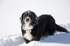Dog in the Show. Bernese. Royalty Free Stock Image