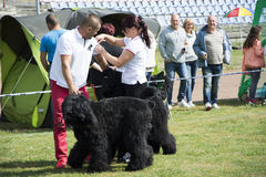 Dog Show big black dogs Stock Image