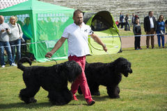 Dog Show big black dogs Stock Photo