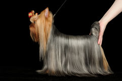 Dog show participant demonstrates Yorkshire Terrie. Dog show participant demonstrates her Yorkshire Terrier on black background Stock Image