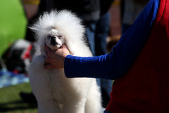 Dog Show, Poodle Stock Photo