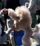 Dog Show, Poodle Royalty Free Stock Image