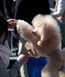 Dog Show, Poodle royalty free stock images
