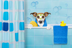 Dog in shower. Jack russell dog in a bathtub not so amused about that , with yellow plastic duck and towel, face or  beauty mask with cucumber Stock Image