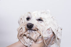 Dog in the shower. A Maltese bichon being washed stock images