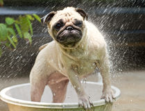 Dog shower. Pug taking a shower or bath royalty free stock image