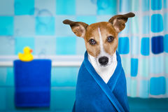 Dog in shower  or wellness spa. Jack russell dog in a bathtub not so amused about that , with blue  towel, having a spa or wellness treatment ,in the bath or Stock Photography