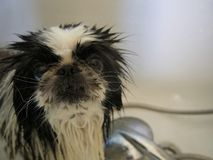 Dog in the shower royalty free stock image
