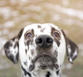 Dog showing its cute curious nose. A dog showing its cute curious nose stock photo