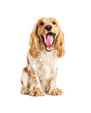 Dog showing teeth Royalty Free Stock Images
