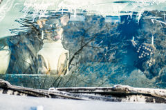 Dog showing tongues. Dog with clothes visible through car window. Cold winter, frosty window Royalty Free Stock Image