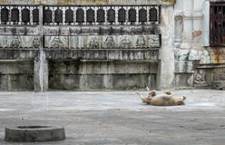 A dog shows joy and happiness at the territory of ancient temple Stock Photos