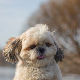 Dog shows tongue. Shaggy shih tzu shows her tongue to everybody royalty free stock photo