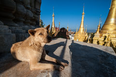 Dog at Shwe Indein Pagodas. Lying dog at the Shwe Indein Pagodas near Inle lake in Myanmar Royalty Free Stock Photography