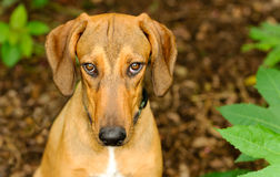 Dog Shy Guilty. Is a beautiful shelter hound dog looking up with an intense stare outdoors in nature stock image