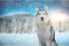 Dog siberian hasky on winter background Royalty Free Stock Image