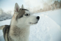 Dog siberian hasky on winter background Royalty Free Stock Photography
