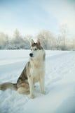 Dog siberian hasky on winter background Stock Photo