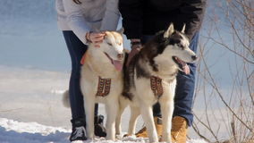 Dog siberian hasky on winter,river,sun. Two dogs, two Siberian Huskies next to the river and people stock video