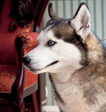 Dog siberian husky Stock Photos