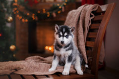 Dog Siberian Husky , Cute little siberian husky puppy Stock Image