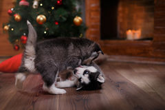 Dog Siberian Husky Royalty Free Stock Images