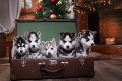 Dog Siberian Husky. Group of Siberian husky puppies, Christmas and New Year Royalty Free Stock Photo