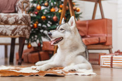 Dog Siberian Husky near Christmas tree Royalty Free Stock Images