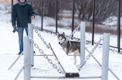 The dog Siberian husky and obedience training in winter Stock Photo