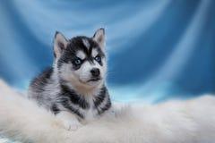 Dog Siberian Husky. Portrait on a studio background Stock Image