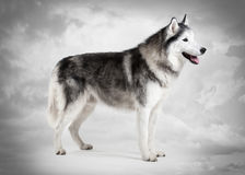 Dog. Siberian Husky on sky texture background Royalty Free Stock Image