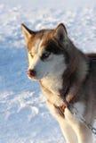 Dog siberian husky on snow Stock Image