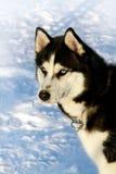 Dog siberian husky on snow Stock Photography