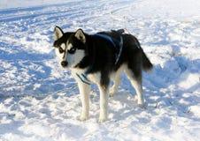 Dog  siberian husky on snow Stock Images
