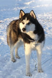 Dog siberian husky on snow Royalty Free Stock Photography