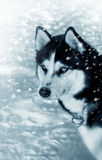 Dog siberian husky in snow Royalty Free Stock Photo