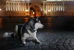 Dog Siberian Husky walking in the city,  Saint Petersburg, Russia, Stock Image