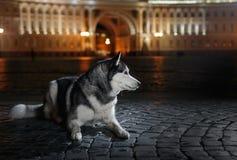 Dog Siberian Husky walking in the city,  Saint Petersburg, Russia, Stock Image