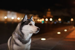 Dog Siberian Husky walking in the city,  Saint Petersburg, Russia, Stock Photography