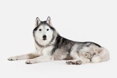 Dog. Siberian Husky on white background Stock Photo