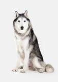 Dog. Siberian Husky on white background Stock Photography