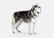 Dog. Siberian Husky on white background Stock Photos