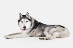 Dog. Siberian Husky on white background Royalty Free Stock Photography