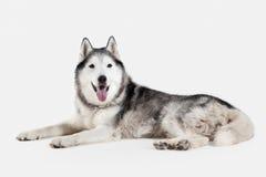 Dog. Siberian Husky on white background Stock Images