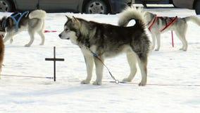 Dog Siberian skrovligt för avel, huskies, malamutes arkivfilmer